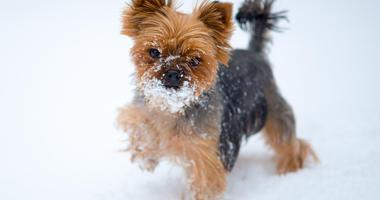 Yorkie dog in snow