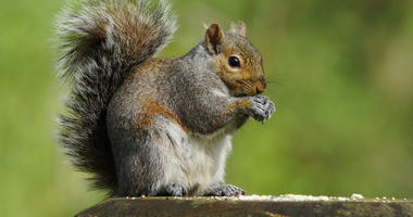 Squirrel with a bushy tail sitting on a fence post