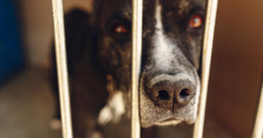 Cute pitbul dog in shelter cage with sad crying eyes and pointing nose