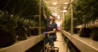 Marijuana plants at Cresco Labs medical marijuana cultivation facility on August 8, 2018, in Joliet, Ill. .jpg