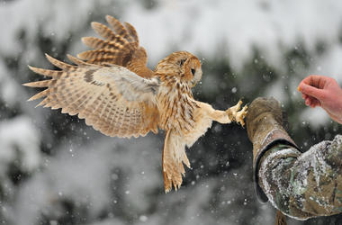 Landing tawny owl on glove