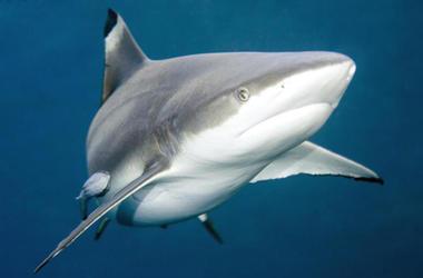 roba tiburones