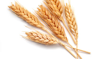 Report: Kansas winter wheat harvest way behind normal