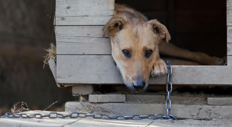 chained up dog