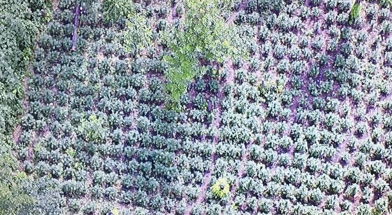 Marijuana Field