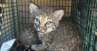 City of San Antonio Animal Care Services Department shows two bobcat cubs
