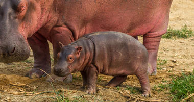 Hippo with baby hippo