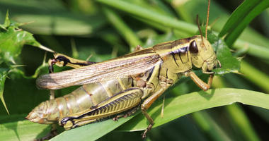 a grasshopper eating thistle