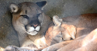 Mountain Lions at the Dallas Zoo