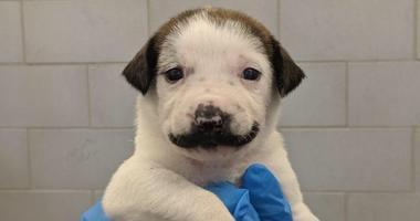 Mustache Puppy