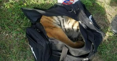 Tiger Found In Duffle Bag