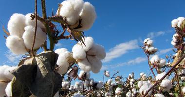 Cotton Plant, Cotton Field