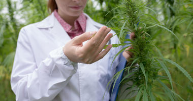 Cannabis, Marijuana