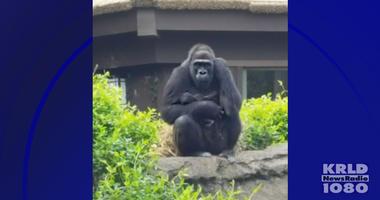 Dallas Zoo, Gorilla