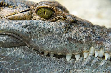 Alligator, Eye, Close Up
