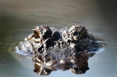 Alligator, Eyes, Water, Swimming, Florida