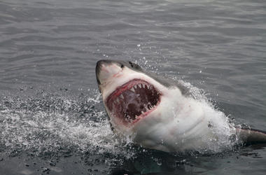 Great White, Shark, Attack, Bite, Teeth, Ocean, Spray
