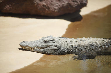 Alligator, Sand, Beach, Water, Resting