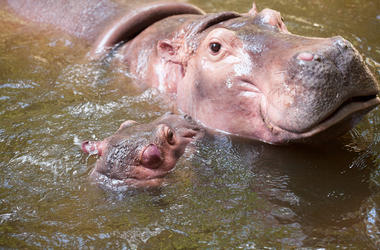 Hippo and her calf
