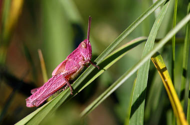 Pink Grasshopper, Chorthippus parallelus, Grasshopper, Grass, Close Up