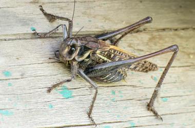 Grasshopper, Summer, Wooden Table, Close Up