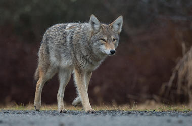 Coyote, Walking, Street, Road, Canada