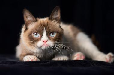 Grumpy Cat, Pose, Black Background, Cat, Kitty, 2014