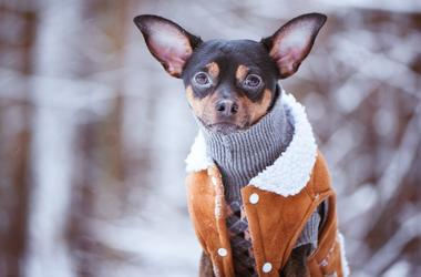 dog_in_sweater