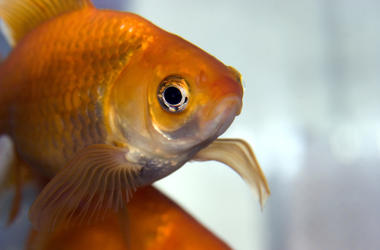 Goldfish, Fish, Pet, Bowl, Close Up