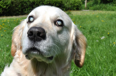 Blind, Dog, Eyes, Golden Retriever, Outdoors, Yard