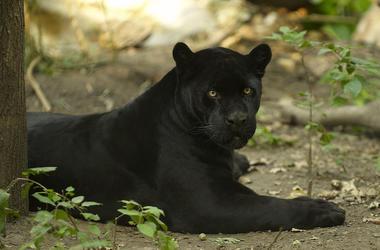 Black Jaguar, Shade, Lying Down, Tree