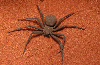 Six Eye Sand Spider