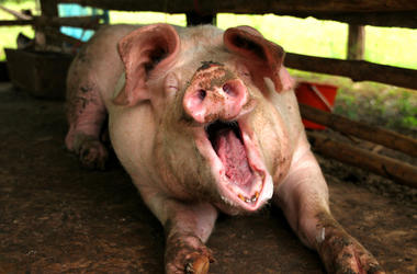 Pig, Pen, Dirty, Mud, Yawn