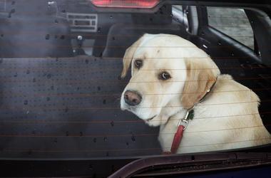 Dog, Sad Eyes, Locked Car, Window, Back Seat