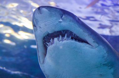 Nurse Shark, Teeth, Under Water