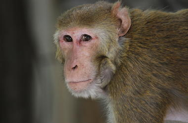 Rhesus Macaque, Monkey