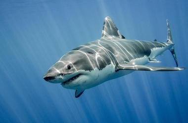 Great White, Shark, Swimming, Ocean