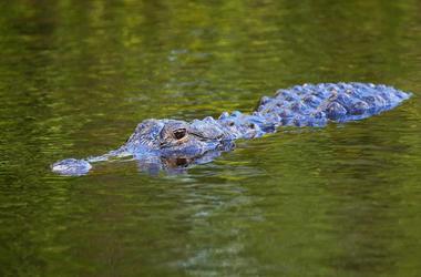 Alligator, Swimming, Eyes