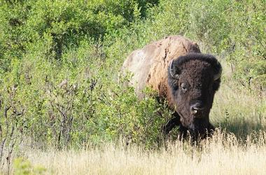 Bison, Grass