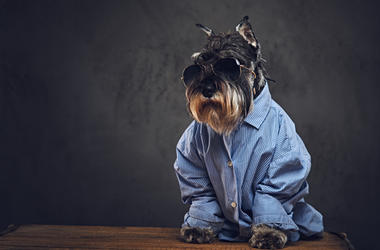Dog wearing a shirt & sunglasses