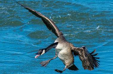 The Canadian Goose Flying