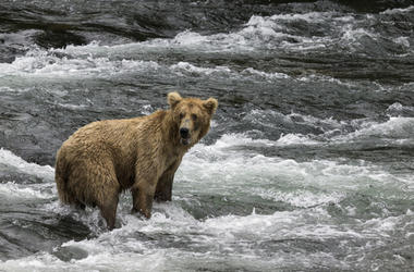 Bear in the River