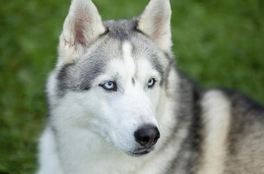 Siberian Husky, Dog, Face, Blue Eyes