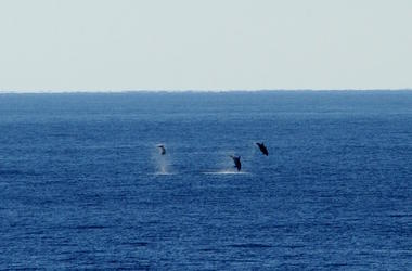 whaes, whale watching, backflips, california