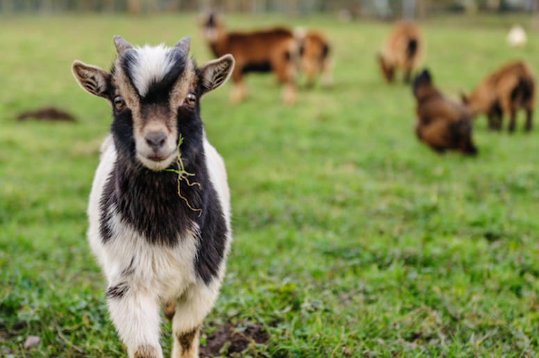 Goats, Grazing, Grass, Brush, Belgium