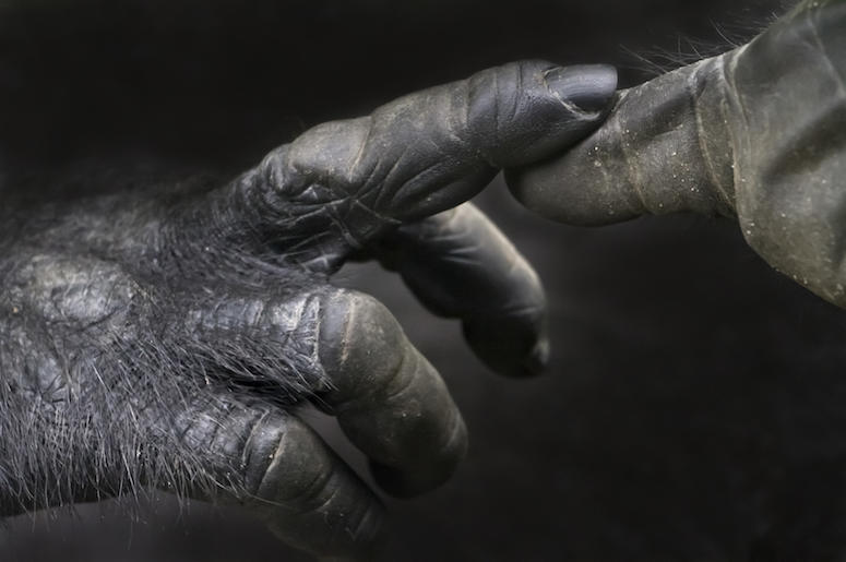 Gorilla, Hands, Close Up