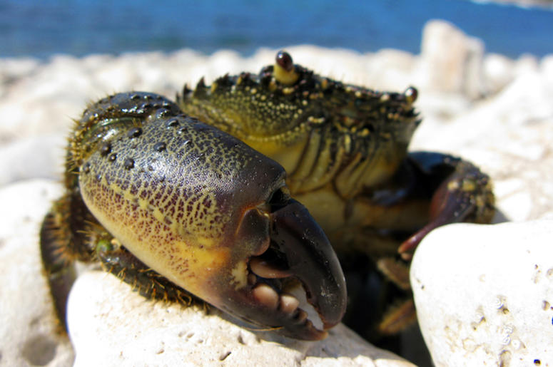 Crab, Claw, Pinch