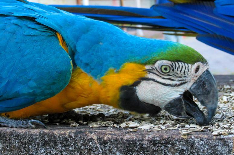 Blue Gold Macaw Parrot, Bird