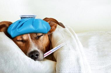 Sick Dog