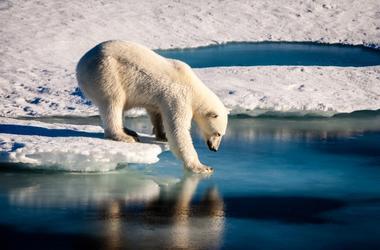 polar bear stepping off ice